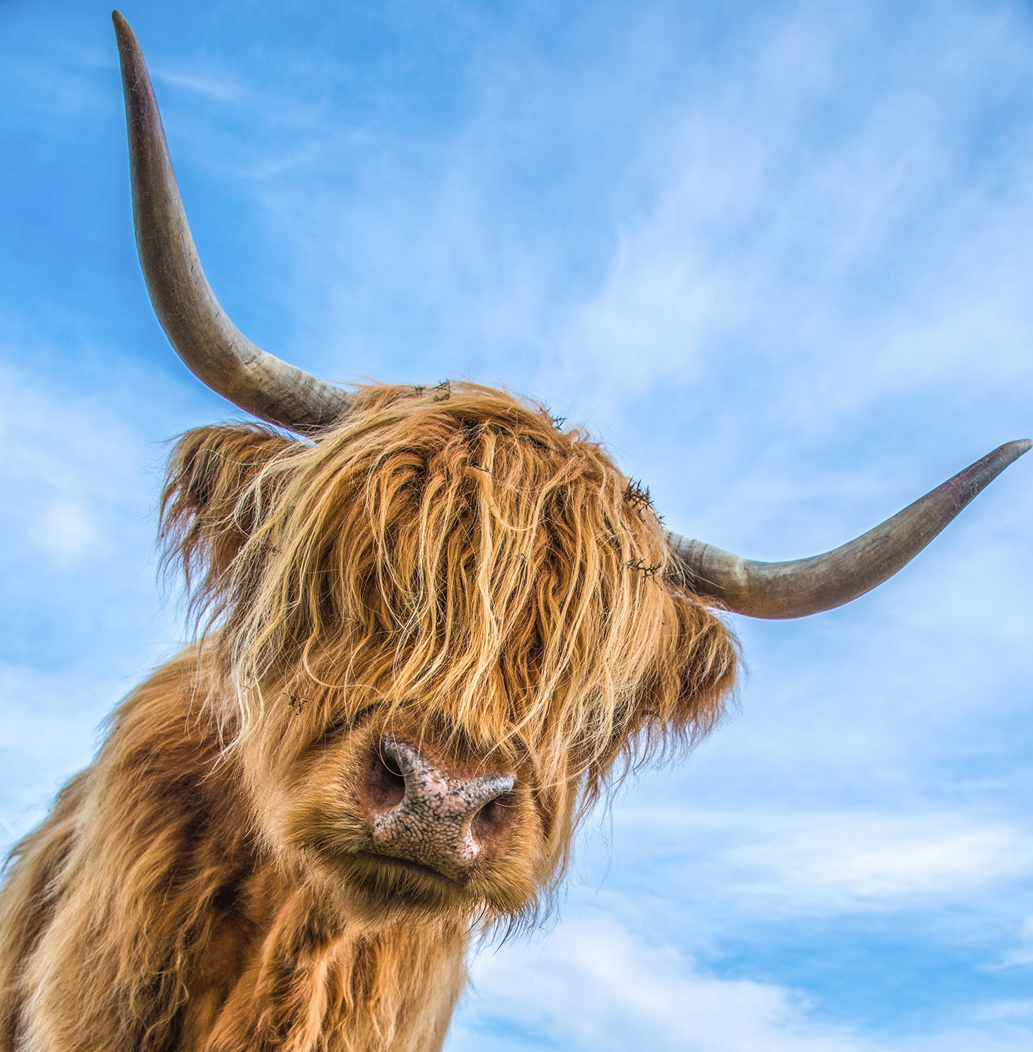 A lovely image of a highland cow and blue skies, one of many amazing experience that takes place on a guided tour of Scotland