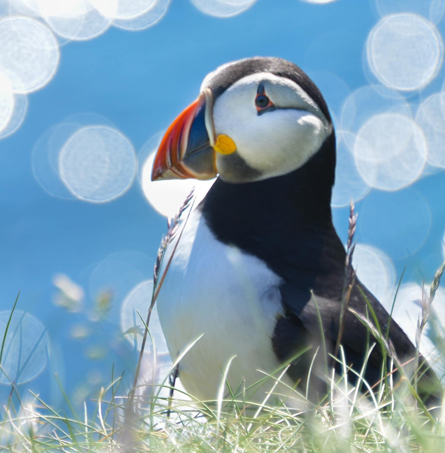 An image of a puffin, one of the many wildlife encounters that take place on a private tour of Scotland